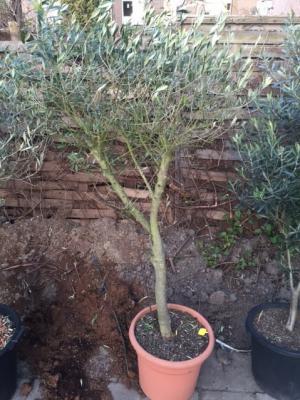 Olijfboom stamdikte 25-30cm