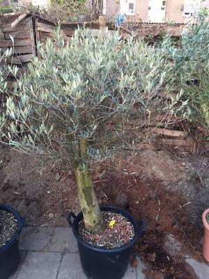Olijfboom 50cm stamdikte 190cm hoog