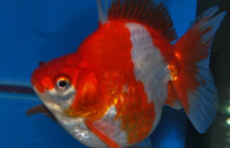 Sluier rood/wit Short Taile